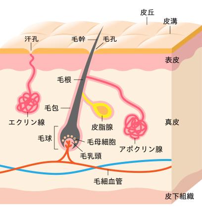 皮膚と毛髪の構造
