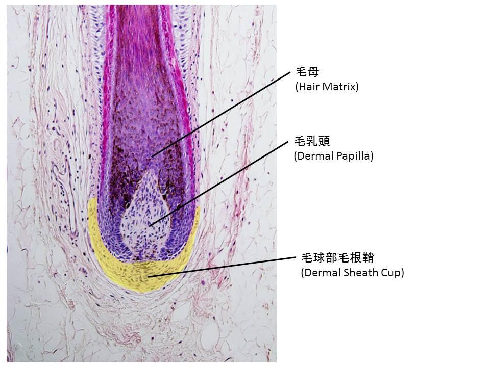 次世代器官再生医療である毛包再生医療に関して